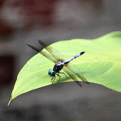 Photograph - Dragonfly Dimernsions II by Suzanne Gaff