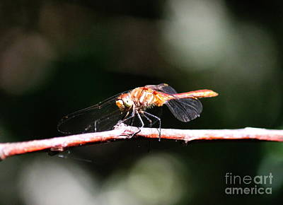 Photograph - Dragonfly Eyes by Erica Hanel