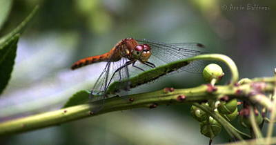 Photograph - Dragonfly Female by Annie Babineau