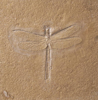 Dragonflies Photograph - Dragonfly Fossilised In Limestone by Dorling Kindersley/uig