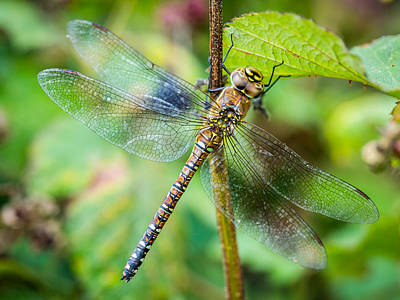 Art Print featuring the photograph Dragonfly. by Gary Gillette
