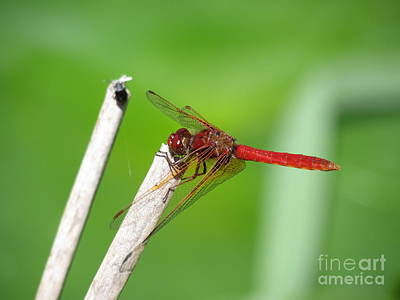 Dragonfly Art Print by Gayle Swigart
