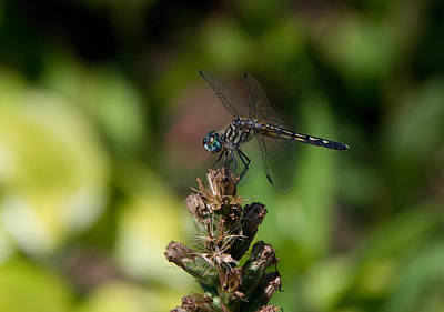 Art Print featuring the photograph Dragonfly by Greg Graham