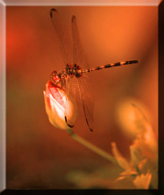 Photograph - Dragonfly H by Leticia Latocki