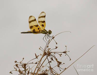 Photograph - Dragonfly II by Carol McCutcheon