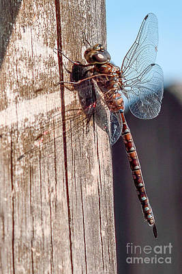 Photograph - Dragonfly II by Patricia Trudell