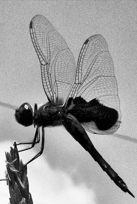 Photograph - Dragonfly In Black And White by Belinda Lee