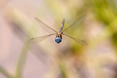Photograph - Dragonfly In Flight by Peggy Collins