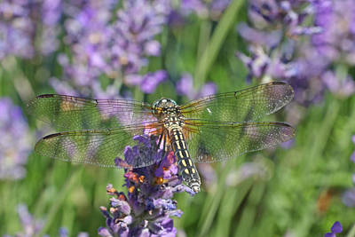 Photograph - Dragonfly In Lavender by Peggy Collins