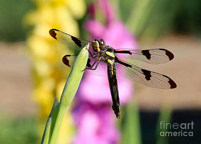 Photograph - Dragonfly In The Glads by Carol Groenen