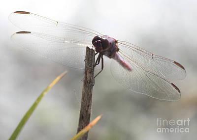 Dragonflies Photograph - Dragonfly In The Mist by Carol Groenen