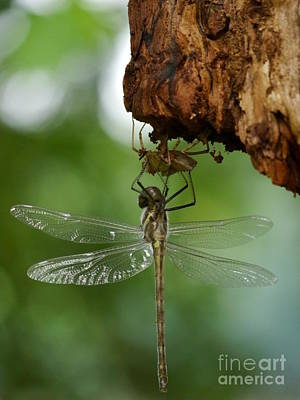 Photograph - Dragonfly by Jane Ford