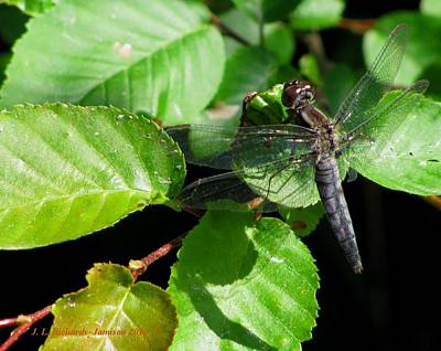 Photograph - Dragonfly by Jennie  Richards