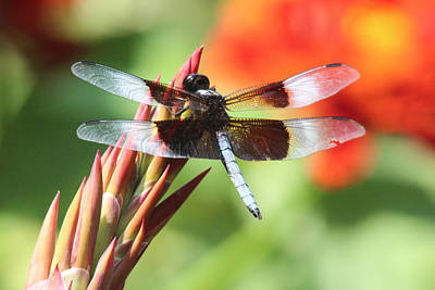 Photograph - Dragonfly by Jill Bell