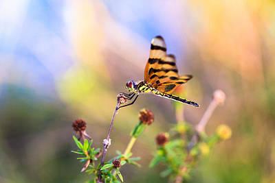 Celithemis Eponina Photograph - Dragonfly by Jonathan Gewirtz