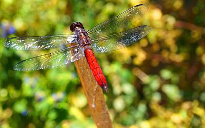 Photograph - Dragonfly by Julia Ivanovna Willhite