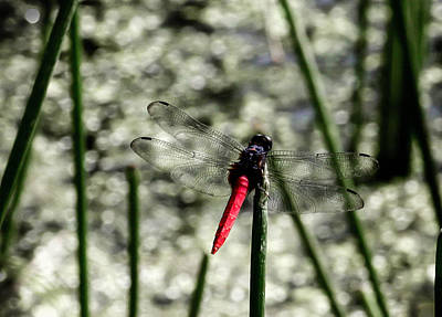 Photograph - Dragonfly by Karen Saunders
