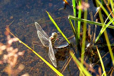 Photograph - Dragonfly - Lake Burgess by Marilyn Burton