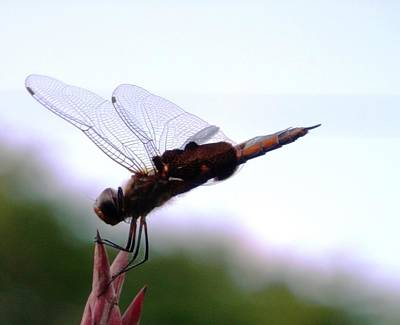Photograph - Windy Day Dragonfly Landing by Belinda Lee