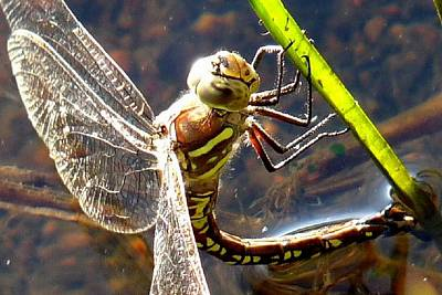 Photograph - Dragonfly Laying Eggs by Marilyn Burton