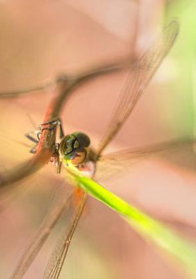 Dragonfly Original