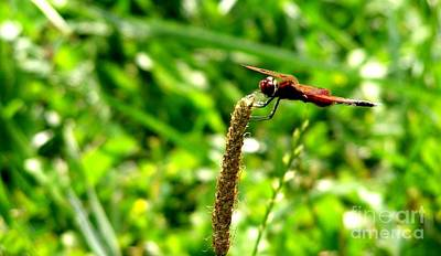 Photograph - Dragonfly by LeLa Becker