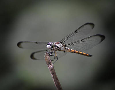 Photograph - Dragonfly Macro by Maggy Marsh