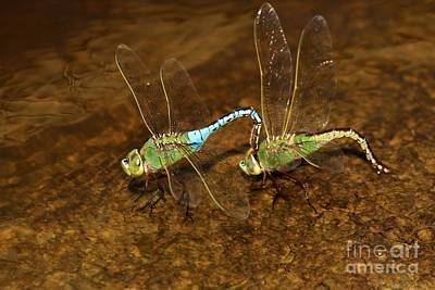 Dragonflies Mating Photograph - Dragonfly Mates by Adam Jewell