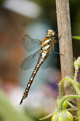 Photograph - Dragonfly by Mick House