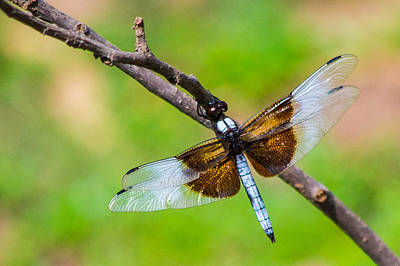 Photograph - Dragonfly by Nathan Hillis