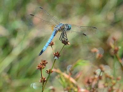 Photograph - Dragonfly On A Flower by Amy Porter