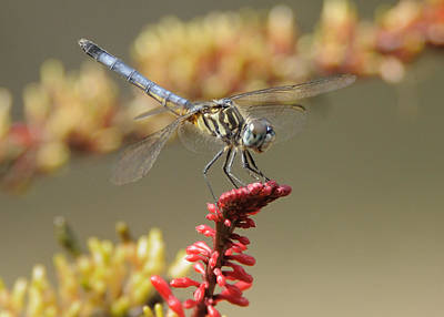 Photograph - Dragonfly On A Flower.  by Bradford Martin