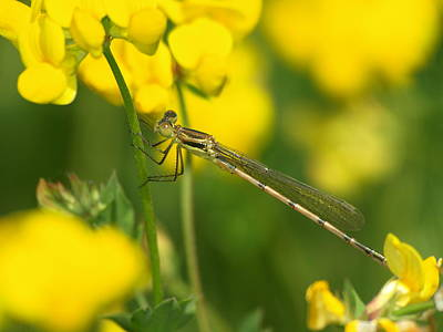 Animals Royalty-Free and Rights-Managed Images - Dragonfly on birds-foot trefoil by James Peterson