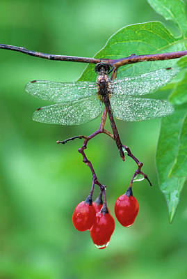 Dragonfly On Branch Art Print by Jaynes Gallery