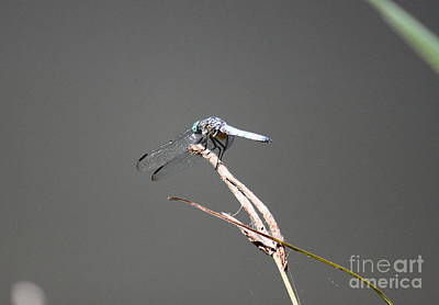 Photograph - Dragonfly On Grass by Erica Hanel