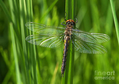 Dragonfly On Grass Art Print by Sharon Talson