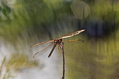 Photograph - Dragonfly On Perch by Theo OConnor