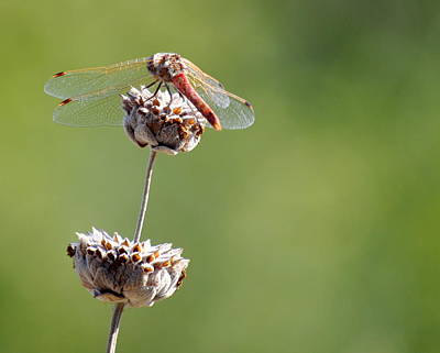 Photograph - Dragonfly On The Flower by AJ  Schibig