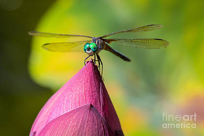 Macro Dragonfly Photograph - Dragonfly On Waterlily by Inge Johnsson
