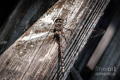 Photograph - Dragonfly by Patricia Trudell