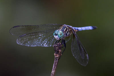 Photograph - Dragonfly by Paula Porterfield-Izzo