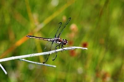 Dragonfly Perch Art Print