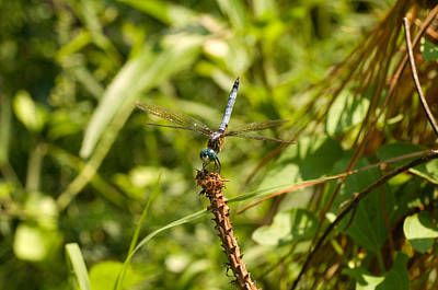 Photograph - Dragonfly Perched by Greg Graham