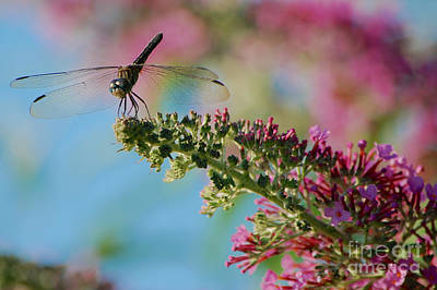 Photograph - Dragonfly Perched  by Mark Dodd