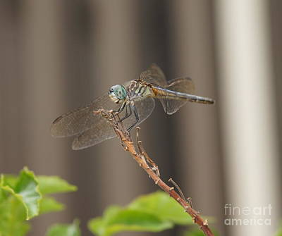 Wall Art - Photograph - Dragonfly Profile by Megan Cohen