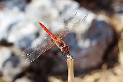 Photograph - Dragonfly Resting by Paula Guy