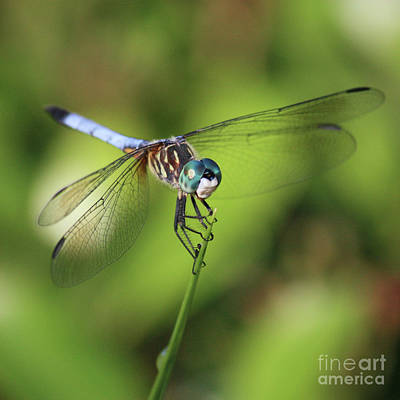 Photograph - Dragonfly Square by Carol Groenen