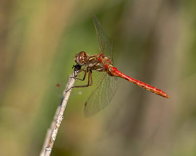 Photograph - Dragonfly by Steve Thompson