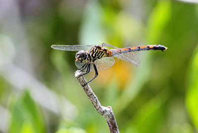 Photograph - Dragonfly by Suzie Banks