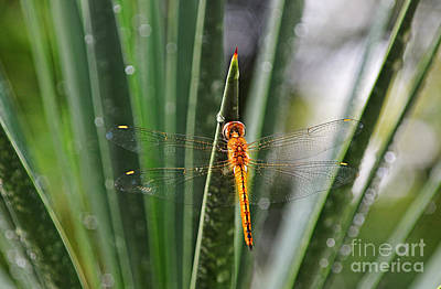 Photograph - Dragonfly by Tran Minh Quan